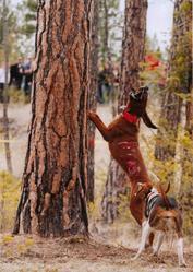 Redbone/Wlaker cougar hound puppies